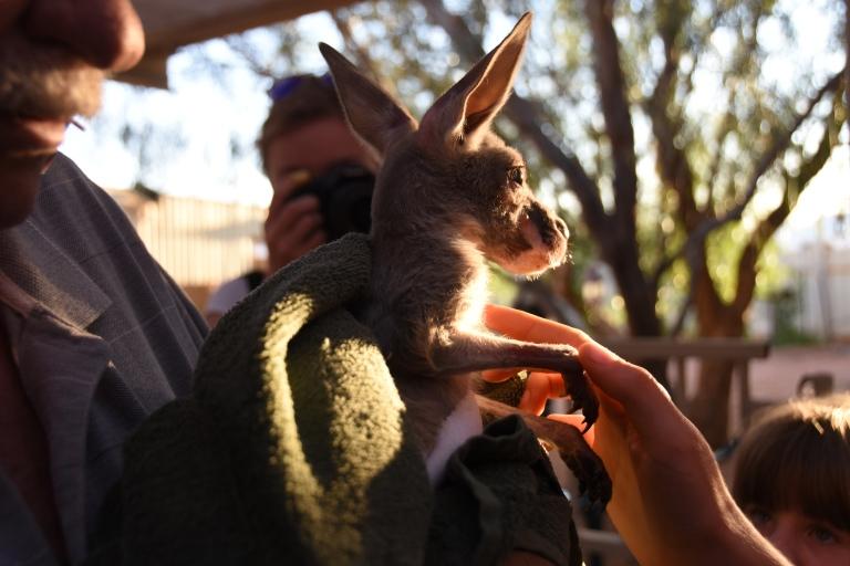 scrawny baby kangaroo