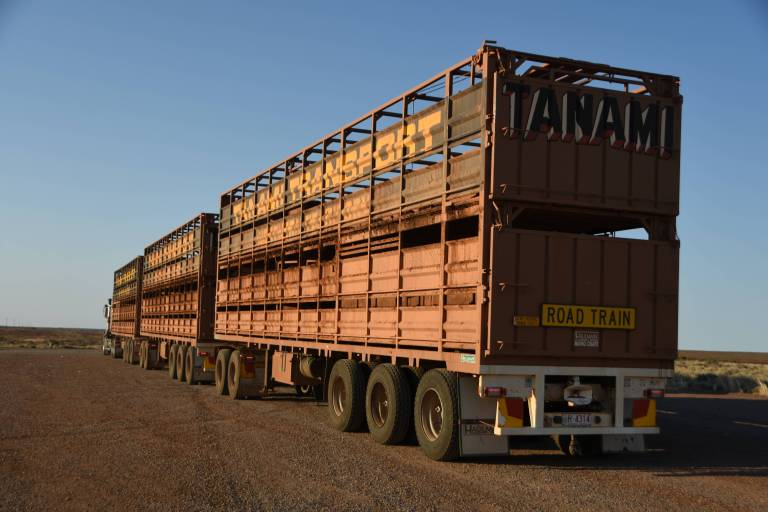 A three-car, double-decker road train carrying three cows who just chose not to get up.