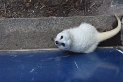 Albino Meerkat!