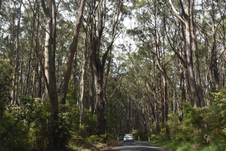 Light cascading through the tree branches on our way to Cape Otway.
