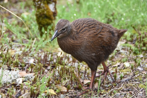 this type of bird enjoys hanging out at the Milford Sound parking lot