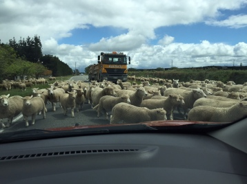 sheep living in perpetual confusion