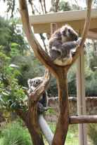 The koalas had a cold so there were no holdings that day.